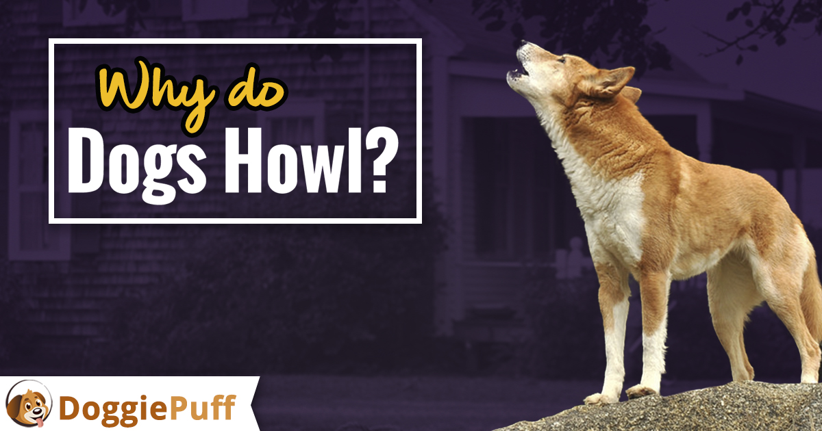 Why Dogs Howl