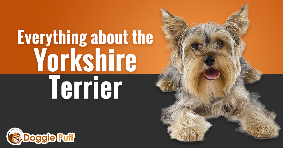 Yorkshire Terrier Blog post