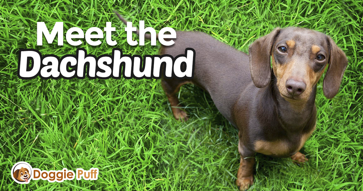 Meet the Dachshund